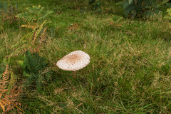 Parasol Mushroom Royalty Free Stock Photo