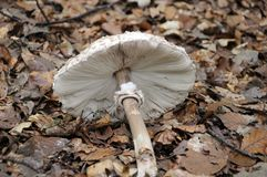 Parasol mushroom. Lying on forest floor with dry leaves Royalty Free Stock Photos