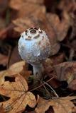 Parasol mushroom, Macrolepiota procera Stock Photos