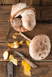 Parasol mushroom (Macrolepiota procera) Stock Image