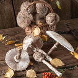 Parasol mushroom (Macrolepiota procera) Royalty Free Stock Photo
