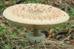 Parasol mushroom - Macrolepiota procera. Close-up view of Parasol mushroom - Macrolepiota procera Royalty Free Stock Photos