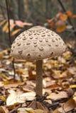 Parasol mushroom macrolepiota procera in the autumn forest. Closeup Stock Photo