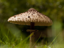 The parasol mushroom Royalty Free Stock Photography
