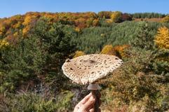 Parasol mushroom Royalty Free Stock Image