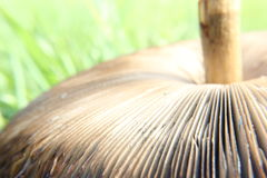 Parasol Mushroom Macrolepiota Procera Stock Image
