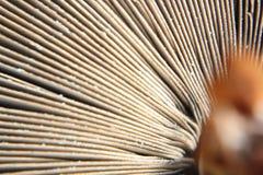 Parasol Mushroom Macrolepiota Procera Royalty Free Stock Photos