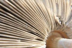Parasol Mushroom Macrolepiota Procera Royalty Free Stock Image