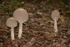 Parasol Mushroom Royalty Free Stock Photos