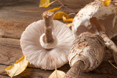 Parasol mushroom (Macrolepiota procera) Royalty Free Stock Images