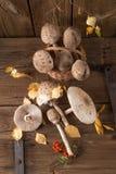 Parasol mushroom (Macrolepiota procera) Stock Photos