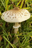 The Parasol Mushroom Royalty Free Stock Photo