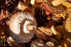Parasol mushroom Macrolepiota procera or Lepiota procera and o. Parasol mushroom Macrolepiota procera or Lepiota procera on other mushroom Royalty Free Stock Photos