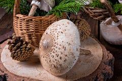 Parasol mushroom Macrolepiota procera or Lepiota procera. A parasol mushroom Macrolepiota procera or Lepiota procera Stock Images