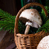 Parasol mushroom Macrolepiota procera or Lepiota procera. A parasol mushroom Macrolepiota procera or Lepiota procera Royalty Free Stock Photo