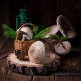 Parasol mushroom Macrolepiota procera or Lepiota procera. A parasol mushroom Macrolepiota procera or Lepiota procera Royalty Free Stock Images