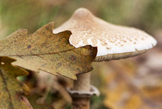 Parasol mushroom (Macrolepiota procera or Lepiota procera) in the forest, macro Stock Photo