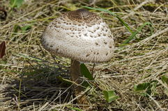 The parasol mushroom, Macrolepiota procera or Lepiota procera growing in the field. Of advance summer, Plana mountain, Bulgaria Royalty Free Stock Photos