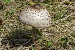 The parasol mushroom, Macrolepiota procera or Lepiota procera growing in the field Royalty Free Stock Photos