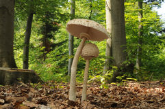 The parasol mushroom Royalty Free Stock Images