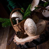 Parasol mushroom Macrolepiota procera or Lepiota procera. A parasol mushroom Macrolepiota procera or Lepiota procera Stock Photography