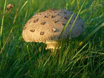 Parasol mushroom - Macrolepiota Procera Stock Image