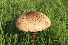 Parasol mushroom Royalty Free Stock Photos