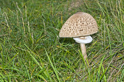 Parasol Mushroom in a Meadow Royalty Free Stock Photography