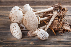 Parasol mushroom Royalty Free Stock Photography