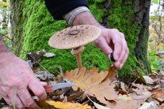 Parasol mushroom, photo sesion in oak forest Stock Photos