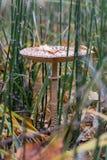 The parasol mushroom Stock Image