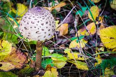 Parasol mushroom. Young parasol mushroom in the autumn pine forest Stock Photography
