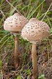 Parasol mushrooms Stock Images