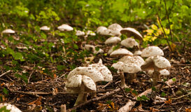 Parasol mushrooms Royalty Free Stock Photo