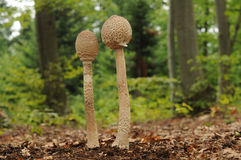 Parasol mushrooms in a forest Royalty Free Stock Photography