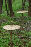 Parasol mushrooms - Macrolepiota procera Stock Photo