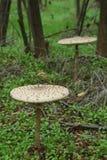 Parasol mushrooms - Macrolepiota procera Stock Photo