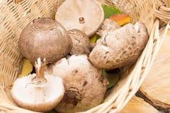 Parasol mushrooms in a wicker bowl Stock Image