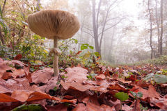Parasol in an oak forest Stock Image
