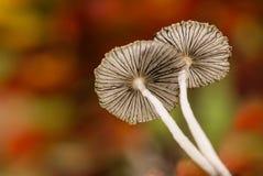 Parasol plicatilis Coprinus μανιταριών Στοκ Εικόνες