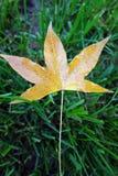 A Parasol tree leaf Stock Photos