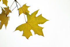 Parasol tree leaves Stock Photo