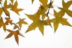 Parasol tree leaves Stock Photos