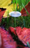 Parasola-auricoma, japanischer Regenschirm-Pilz stockbild