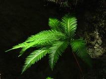 Parasola lub fan paproć w świetle słonecznym Fotografia Royalty Free