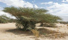 Parasolowa Cierniowa akacja w Arava w Izrael obraz stock