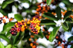Parasolowego drzewa gwałta owoc, Schefflera arboricola kwiatonośna roślina Fotografia Stock