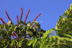 Parasolowego drzewa Schefflera actinophylla Obrazy Royalty Free
