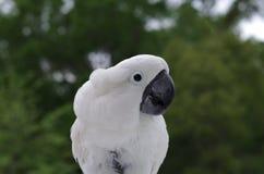 Parasolowy kakadu w Dzikim Obraz Royalty Free