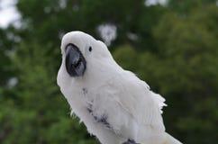Parasolowy kakadu w Dzikim Obrazy Stock